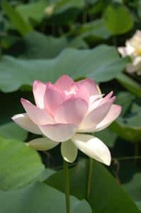 bigstock_Lotus_672496